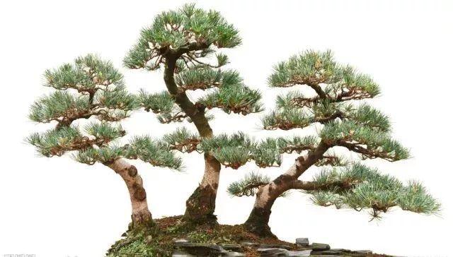行情走俏!盆栽观赏树苗木或成为苗木市场新风口