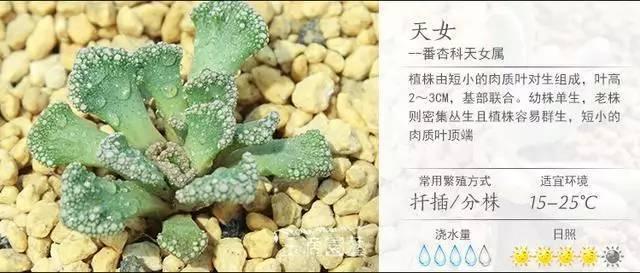 一入肉界深似海,100种常见多肉植物养护宝典_61