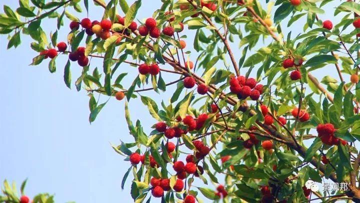 最吉祥的三十种庭院主景树_37