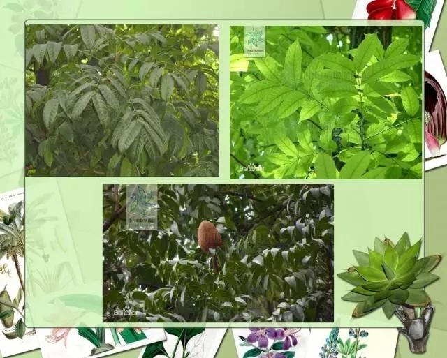 100种常见园林植物图鉴-20160523_183224_075.jpg