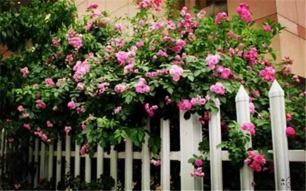 你真正需要的,也许只是一个小院,看繁花爬满篱笆_3