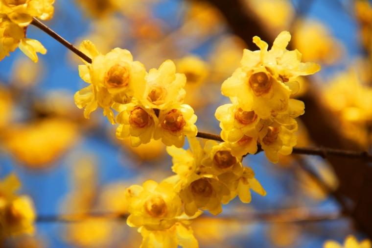 四季中,让人嗅到醉的植物-腊梅.jpg