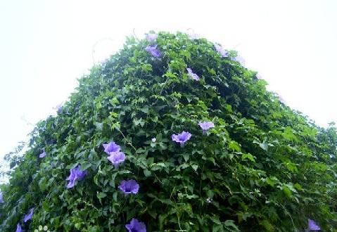 十八种藤本植物大集合~-032.jpg