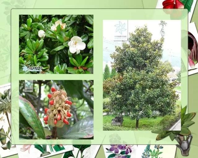 100种常见园林植物图鉴-20160523_183224_015.jpg
