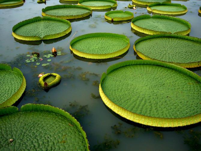 看看你认识几种水生植物!-王莲.jpg