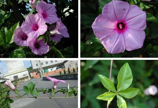 十八种藤本植物大集合~-031.jpg