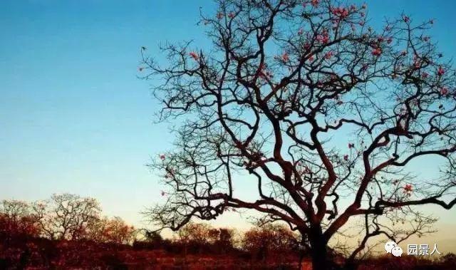 灵气之源·中式庭院主景树一览_39