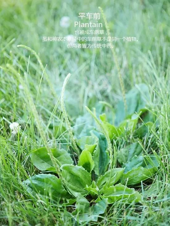 路边的野花不要采,路边的野草要认全!!_11