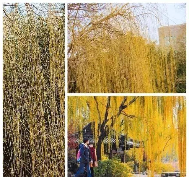 多彩观干植物,萧瑟的冬天里没有叶子照样成景!_7