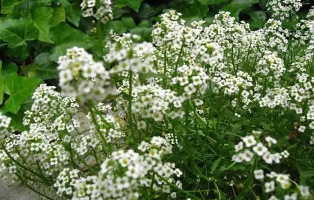 18种常见的镶边植物,你认识几种??_33