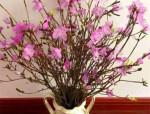 美丽的干枝杜鹃,枯木逢春的背后隐藏着什么?
