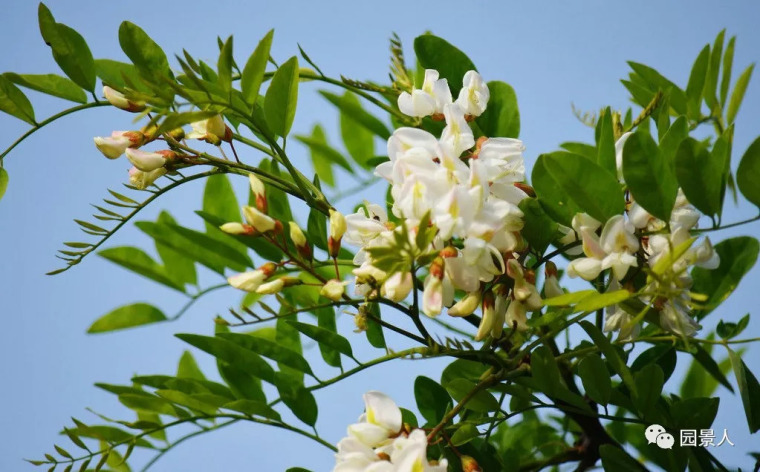 灵气之源·中式庭院主景树一览_19