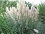 巧妙识别23种景观设计常用观赏草
