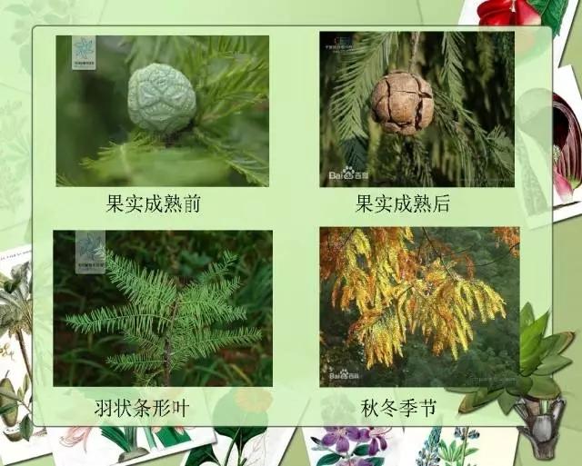 100种常见园林植物图鉴-20160523_183224_009.jpg