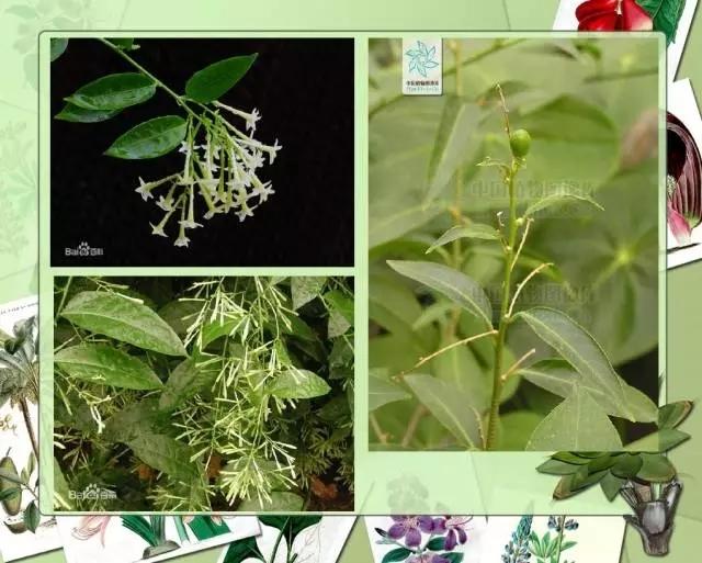 100种常见园林植物图鉴-20160523_183224_101.jpg