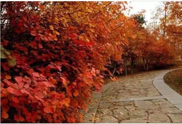 一叶落而知天下秋 !园林人一定要知道的20种彩叶树种!