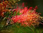 火速蹿红的奇特观花植物——红花银桦