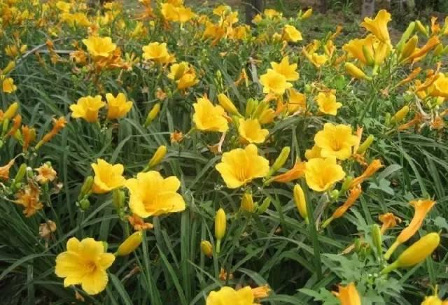18种常见的镶边植物,你认识几种??_31