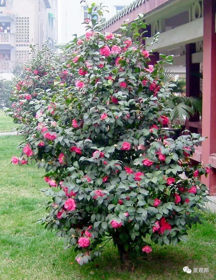 最吉祥的三十种庭院主景树_24