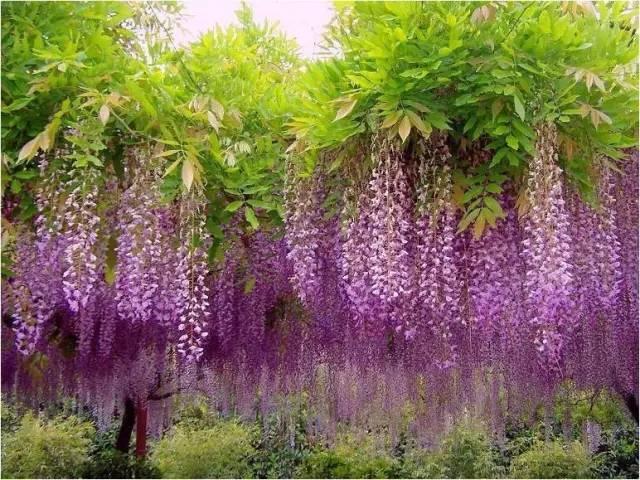 十八种藤本植物大集合~-023.jpg