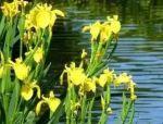 【工程管理】水生植物的养护要点