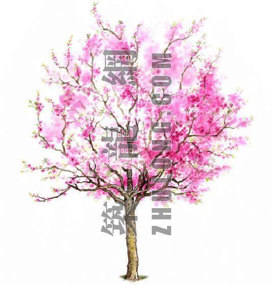 手绘园林植物立面图百例-4
