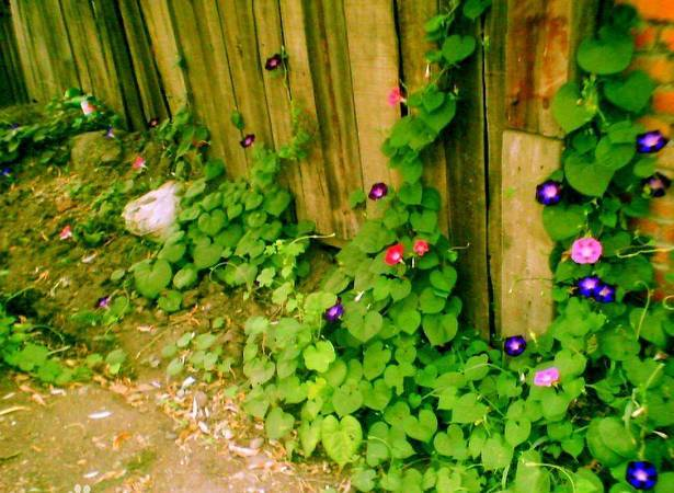 十八种藤本植物大集合~-030.jpg