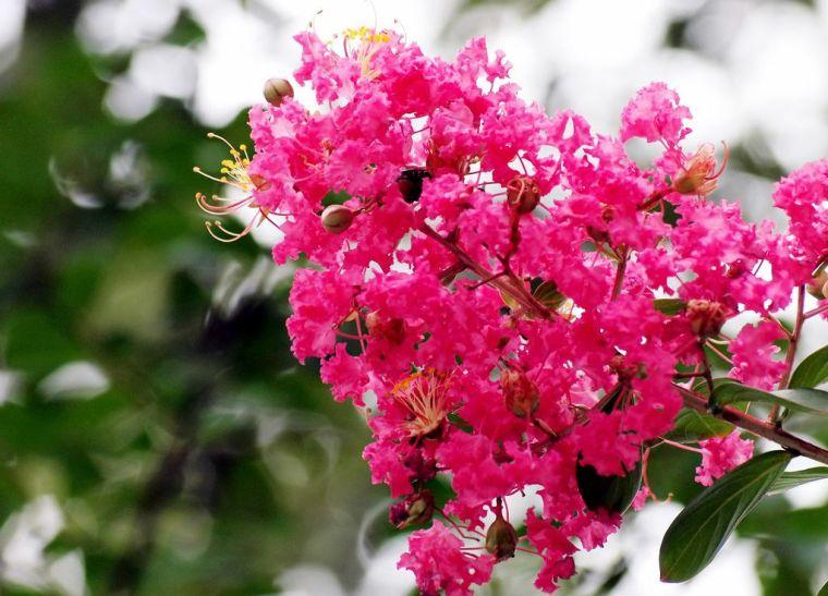 灵气之源·中式庭院主景树一览_4