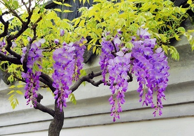 香花植物-嗅觉盛宴_6