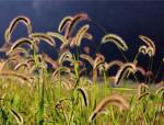 路边的狗尾巴草,也可以美成一种艺术!