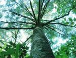 全球仅存3株的野生百山祖冷杉,为何这么难以培育?