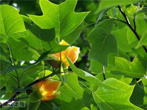 80种常见园林植物 · 景观设计师必知