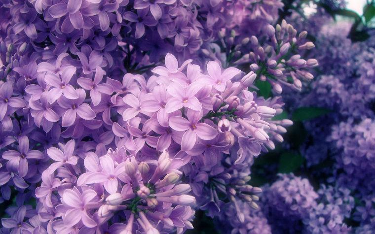 四季中,让人嗅到醉的植物-丁香.jpg