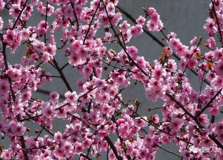 灵气之源·中式庭院主景树一览_7