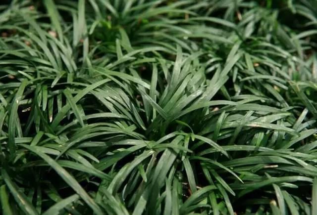 18种常见的镶边植物,你认识几种??_12