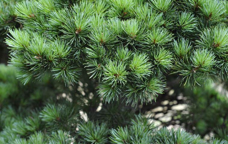 灵气之源·中式庭院主景树一览_27