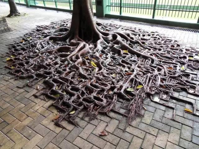 连树都这么拼命,你还有什么理由不奋斗?_16