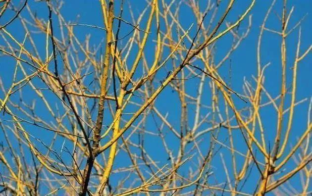 多彩观干植物,萧瑟的冬天里没有叶子照样成景!_6