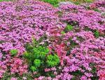 如何防止花卉品种退化?