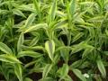 18种吸收室内有害物质的室内常用植物