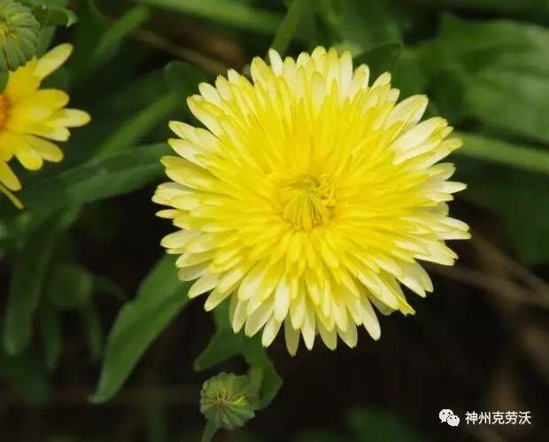 景观花海中常用的草花品种及习性归纳!超详细介绍!