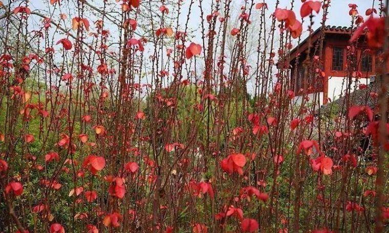 多彩观干植物,萧瑟的冬天里没有叶子照样成景!_3