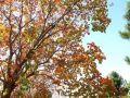 彩叶树种配置指南