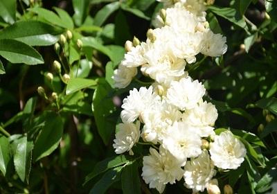 香花植物-嗅觉盛宴_13
