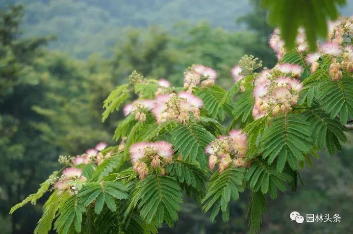 园林绿化常用观花乔木·北方篇