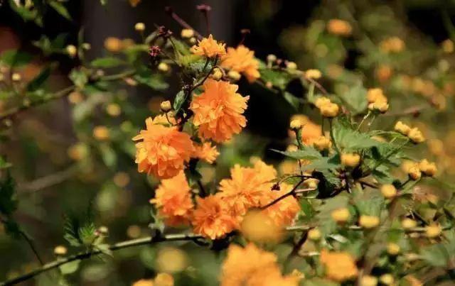 中式园林景观必备造景植物_12