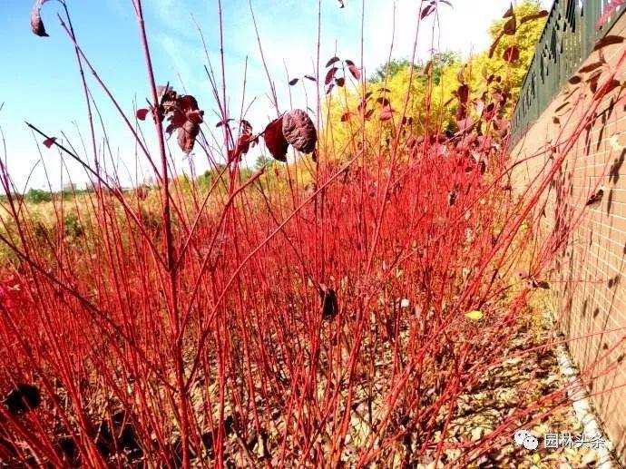 多彩观干植物,萧瑟的冬天里没有叶子照样成景!_2