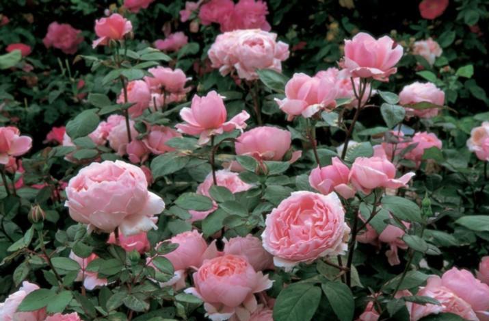 四季中,让人嗅到醉的植物-月季.jpg