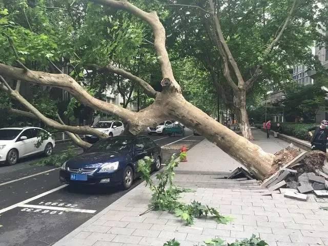法国梧桐惹争议,究竟适不适合做行道树???_1