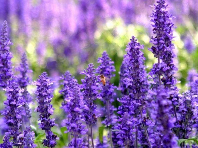四季中,让人嗅到醉的植物-薰衣草2.jpg
